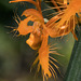 Platanthera ciliaris (Yellow Fringed orchid) with double lip