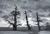 Hougoumont Chessnut trees