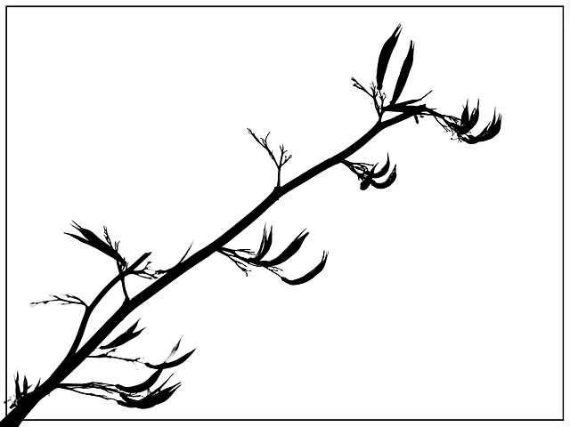 Silhouetted New Zealand Flax Seed Heads