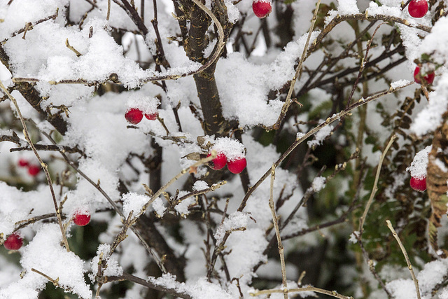 Red berries and snow