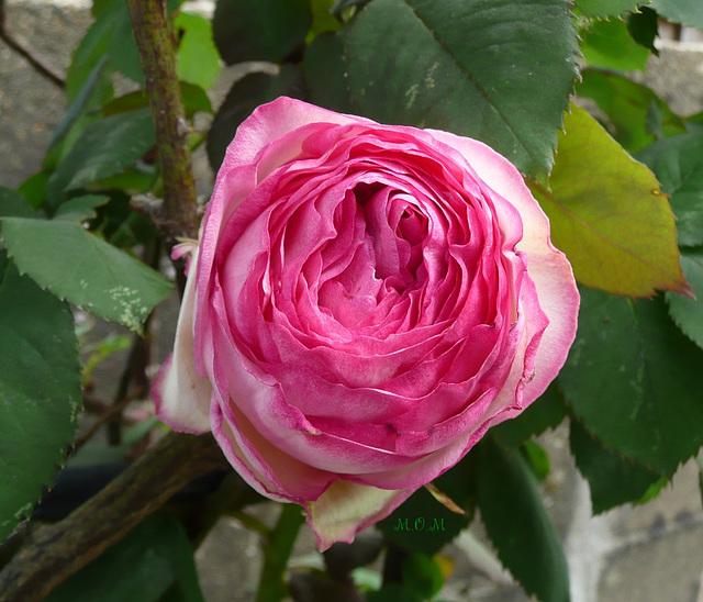 Du rose**************
