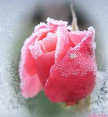 La rose en sucre