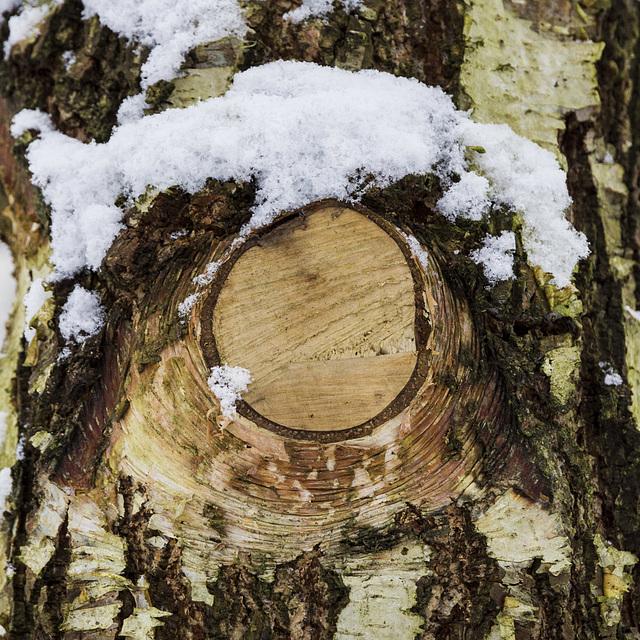 snowy birch knot