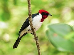Masked Cardinal / Paroaria nigrogenis, Trinidad, Day 7
