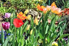 Tulpen in meinem kleinen Garten