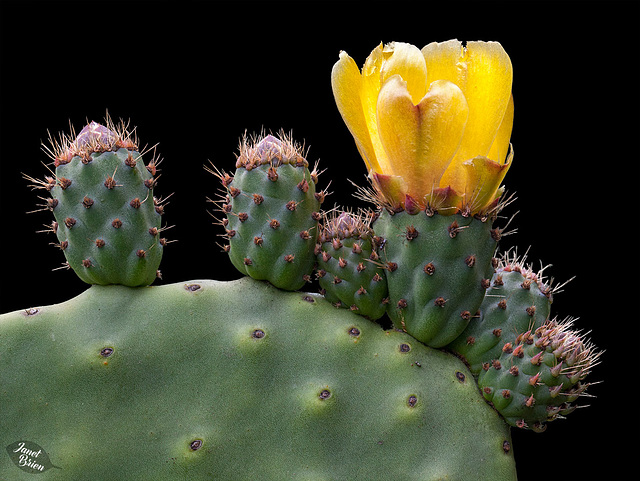 Pictures for Pam, Day 13: Prickly Pear Cactus