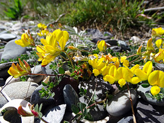 Birdsfoot Trefoil.  Lotus corniculatus