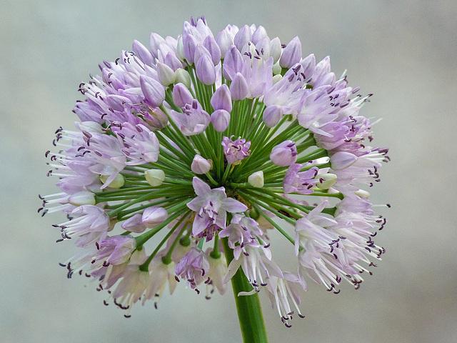 Allium up close
