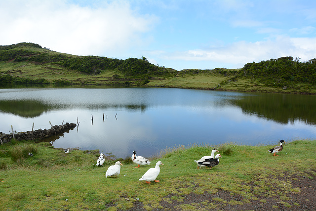 Azores, Lake and Ducks in the Overgrown Lava Fields of the Pico Volcano