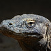 Indonesia, Portrait of Komodo Dragon (Varanus komodoensis)