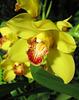 Yellow Orchid, NY Botanical Garden