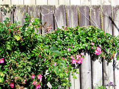 Roses on Fence.