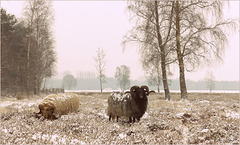 Sheep in Winter cloth...