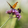 Comma Butterfly and Bee