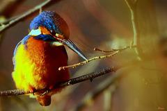 Oiseau arc-en-ciel