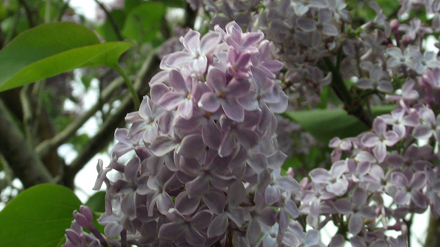 The pale purple lilac is lovely and scented
