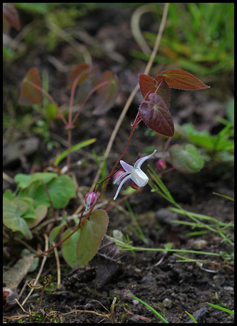 Epimedium Hagoromo (2)