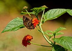 Butterfly on lantana.    7297561