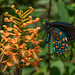 Platanthera ciliaris (Yellow Fringed orchid) and Battus philenor (Pipevine Swallowtail butterfly)