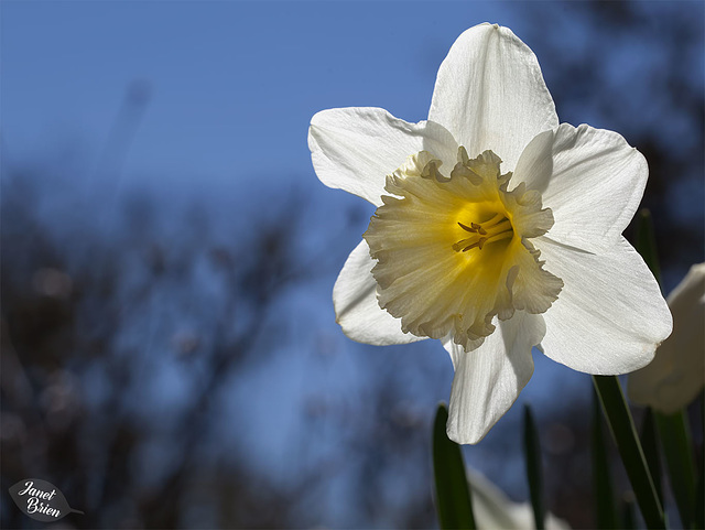 306/366: Dreamy Daffodil