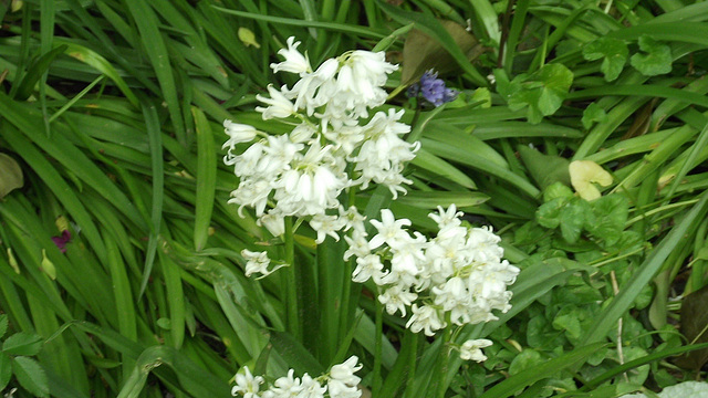 Loads of white bluebells are out