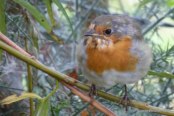 The Deerhide Robin