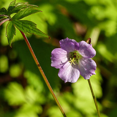Day 4, unidentified wildflower, Pt Pelee, Ontario
