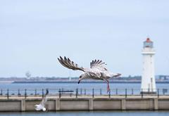Seagull May set (67)