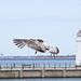 Seagull May set (68)