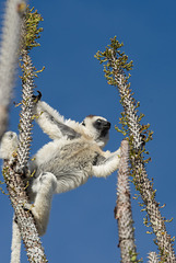 Sifaka splayed