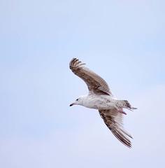 Seagull May set (69)