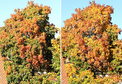 Same procedure as every year: My Autumn maple. ©UdoSm