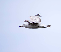 Seagull May set (70)