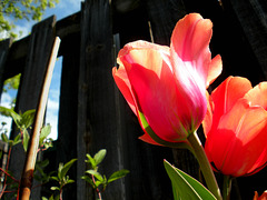 My annual tulip photos
