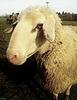 Овца (A sheep)