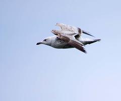 Seagull May set (71)