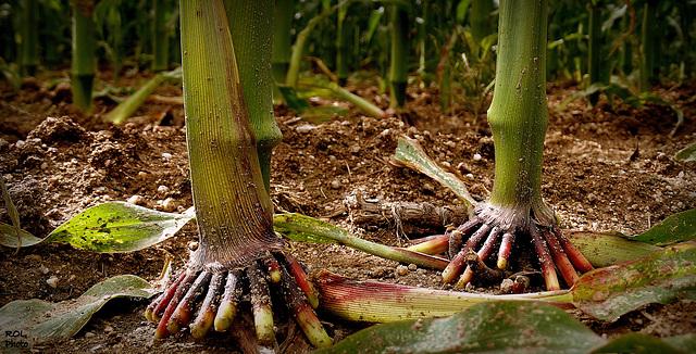 Doigts de pieds de maïs...sans ongles