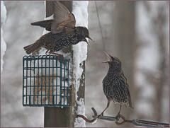 Starlings arguing over the suet