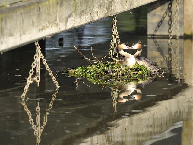 Grebes within the  fence HHF from the River Thames at Marlow