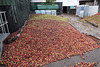 Heap of apples, ready for cidering