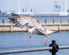 Seagull May set