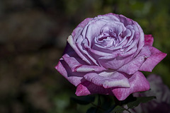 Harry & David Garden: Lilac Rose