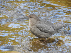 Yes, it's the American Dipper again