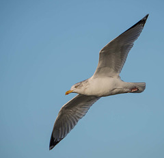 Seagull, West Kirby (1)