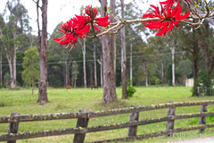 Fence and Coral Tree