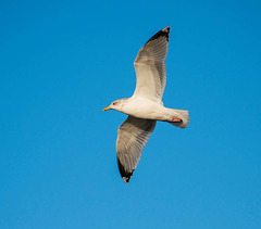 Seagull, West Kirby (2)