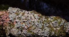 Lichen en sous-bois.