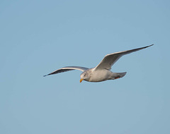 Seagull, West Kirby (3)