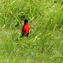 Red-breasted Meadowlark / Sturnella militaris, Trinidad