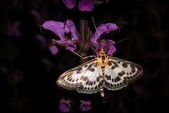 Small magpie ~ Bonte brandnetelmot (Eurrhypara hortulata ~ Anania hortulata) + PiP...